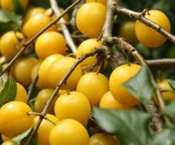 Marmellata di Amoli gialli